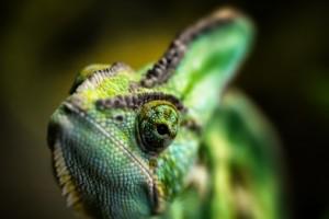 Chameleons (family Chamaeleonidae)